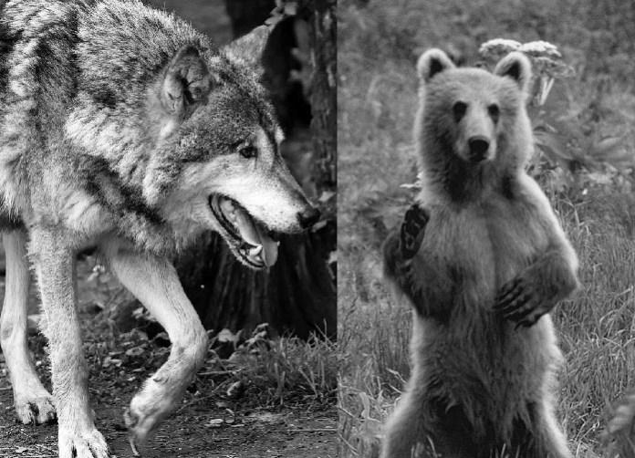 L'ours et le loup dérangent aussi nos voisins européens ?