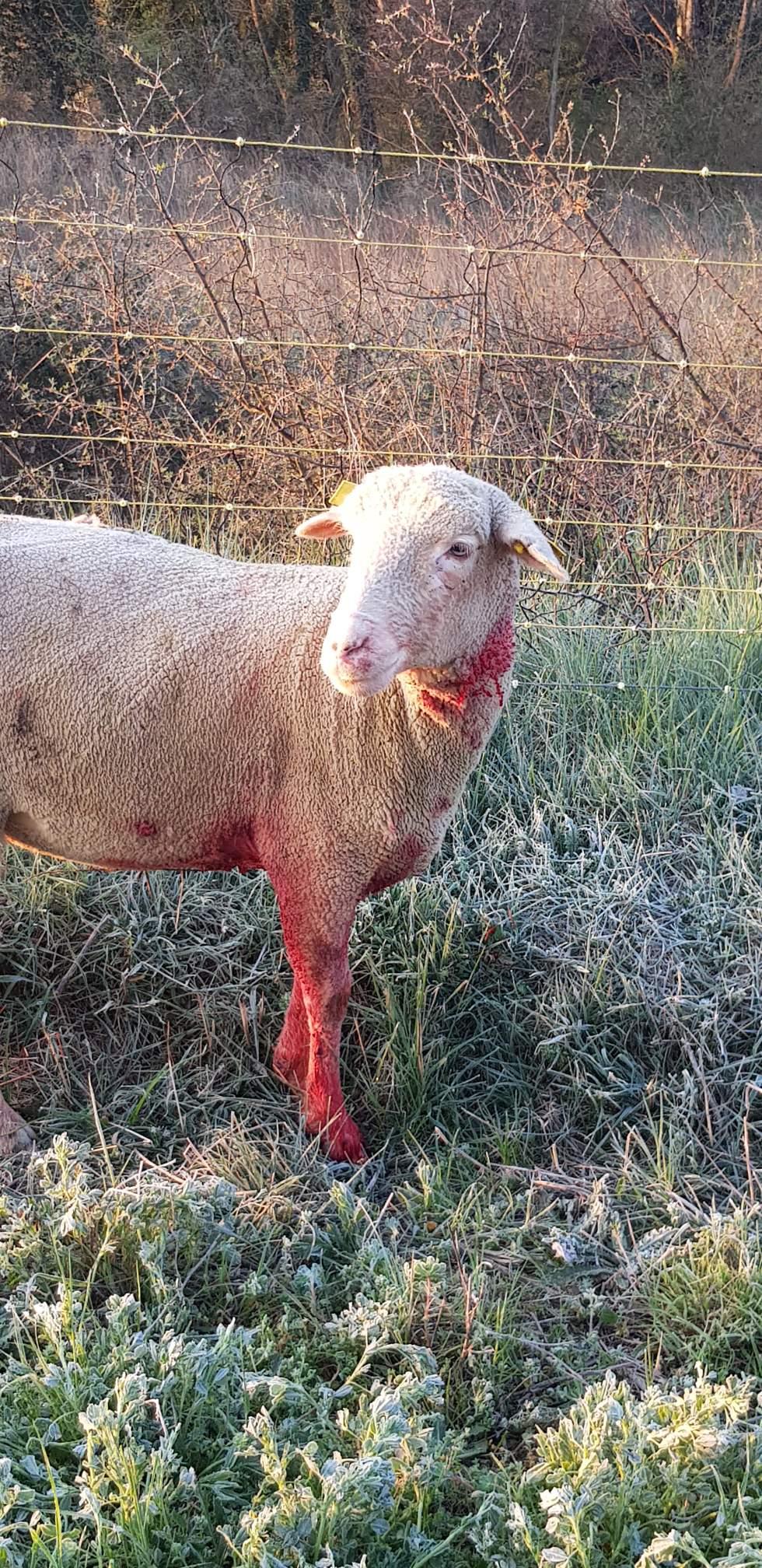 Alpes-de-Haute-Provence. Un troupeau de brebis attaqué dans une exploitation, l'éleveur accuse le loup