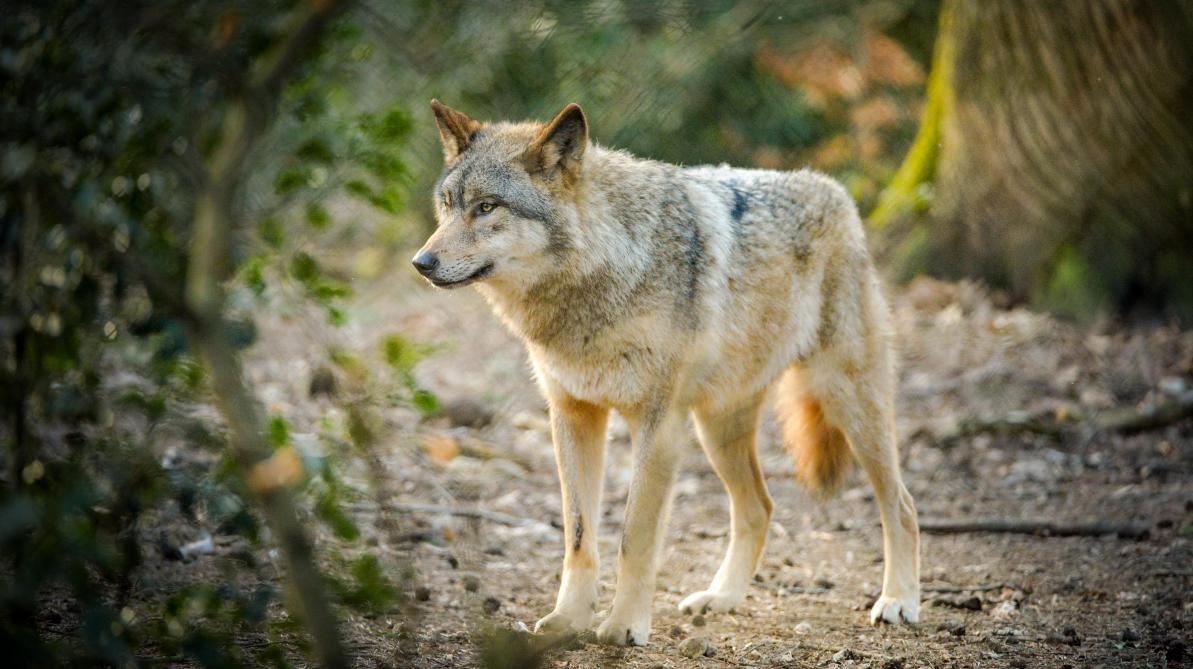 Entretien avec «Monsieur loup», le biologiste Jean-Marc Landry