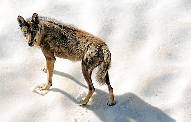 Côte d'Azur: Les loups placés sous étroite surveillance dans le Mercantour