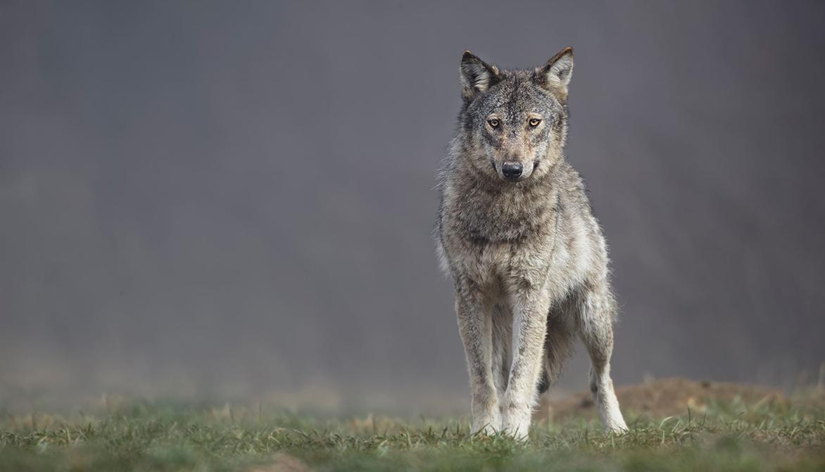 Des louves gestantes tuées pendant le confinement – Fondation 30 Millions d'Amis