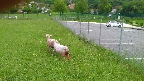 Isère : un troupeau attaqué au milieu du village de Saint-Paul-de-Varces, le loup suspecté – France 3 Auvergne-Rhône-Alpes