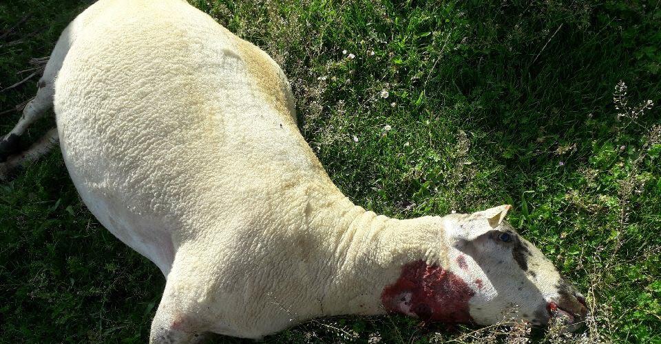Montélier | Onze moutons et une chèvre attaqués par le loup