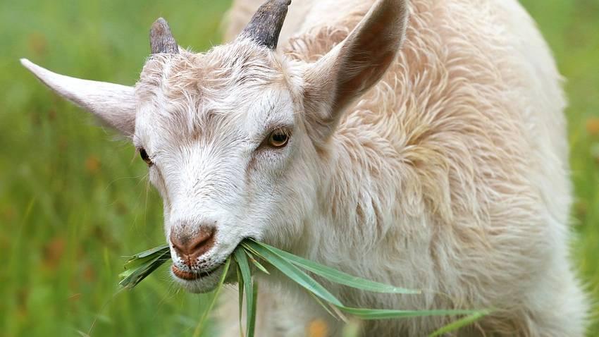 Actualités | Hautes-Alpes : trois chèvres tuées par un lynx à l'Argentière-la-Bessée | La Provence