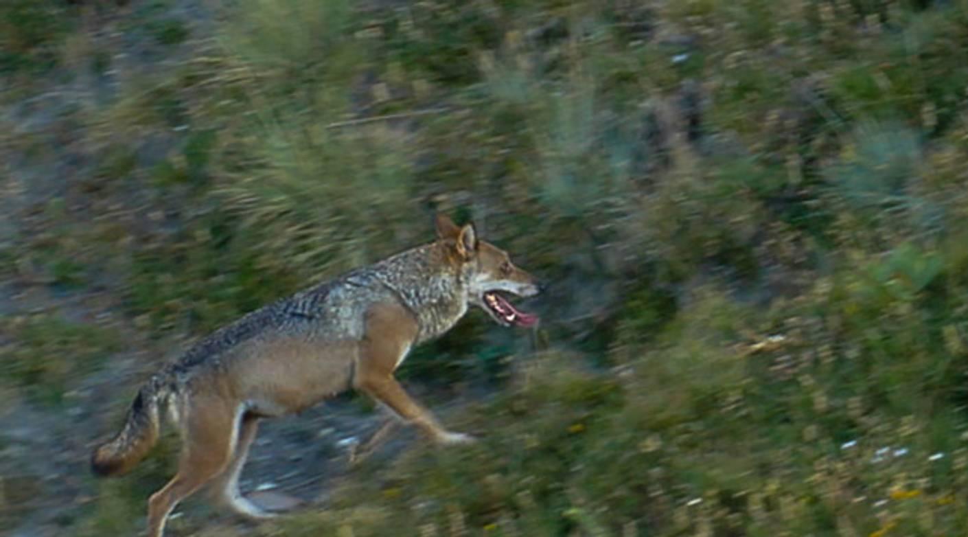 Actualités | Un loup reste une espèce protégée même lorsqu'il s'aventure dans une zone habitée, affirme la cour de justice de l'UE | La Provence