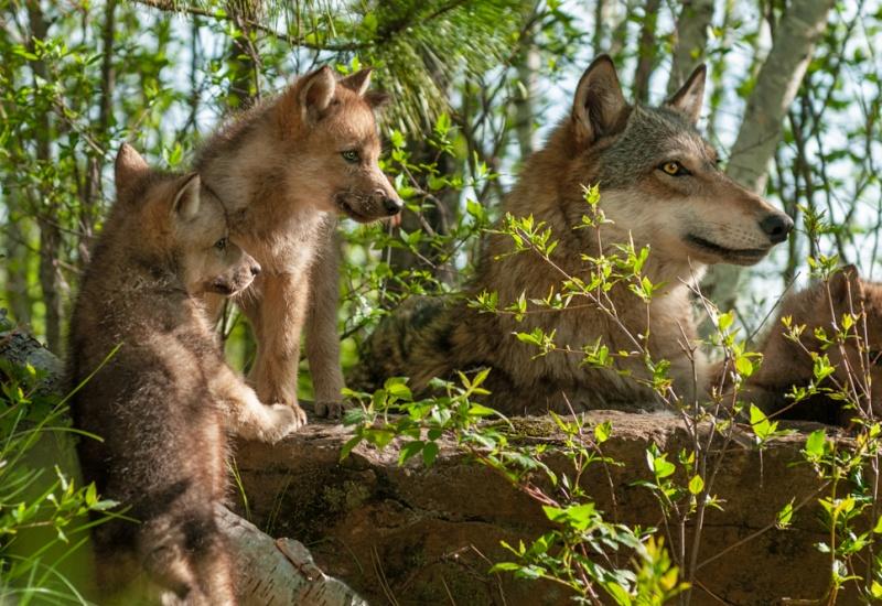 84 % des Français sont en faveur d'une stricte protection du loup
