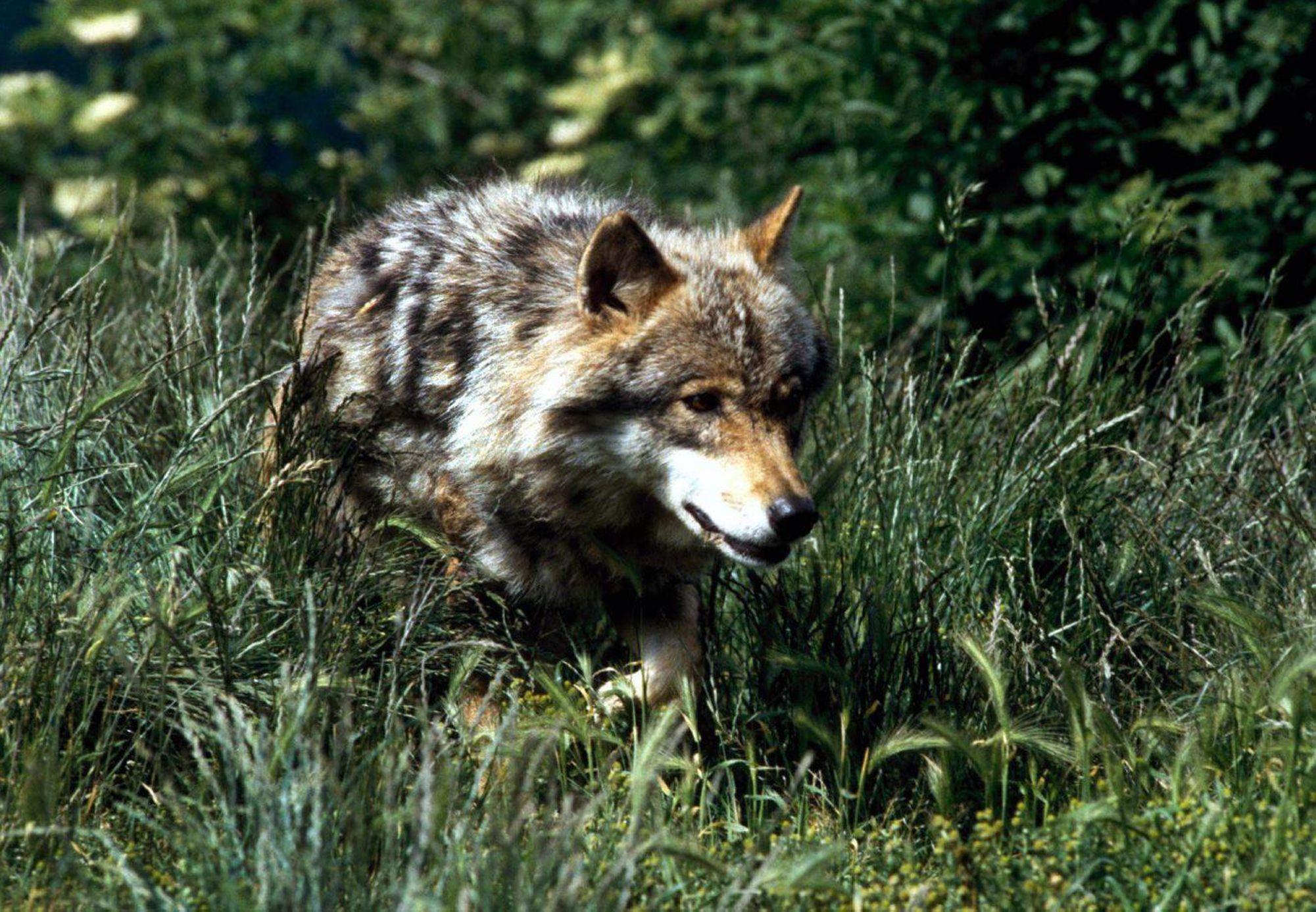 20min – Un loup aperçu à La Givrine en plein jour