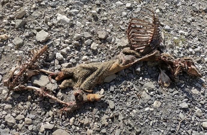 Alpes-de-Haute-Provence : 10 brebis tuées au Brusquet – Haute Provence Info