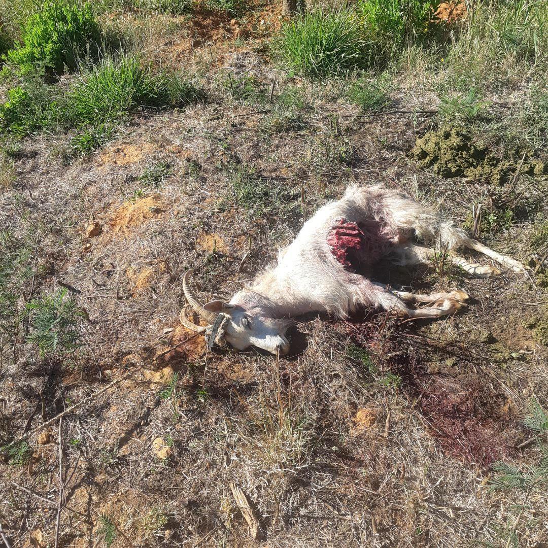Attaque de loup à La Londe-les-Maures: cas isolé ou présence d'une meute? – Var-Matin