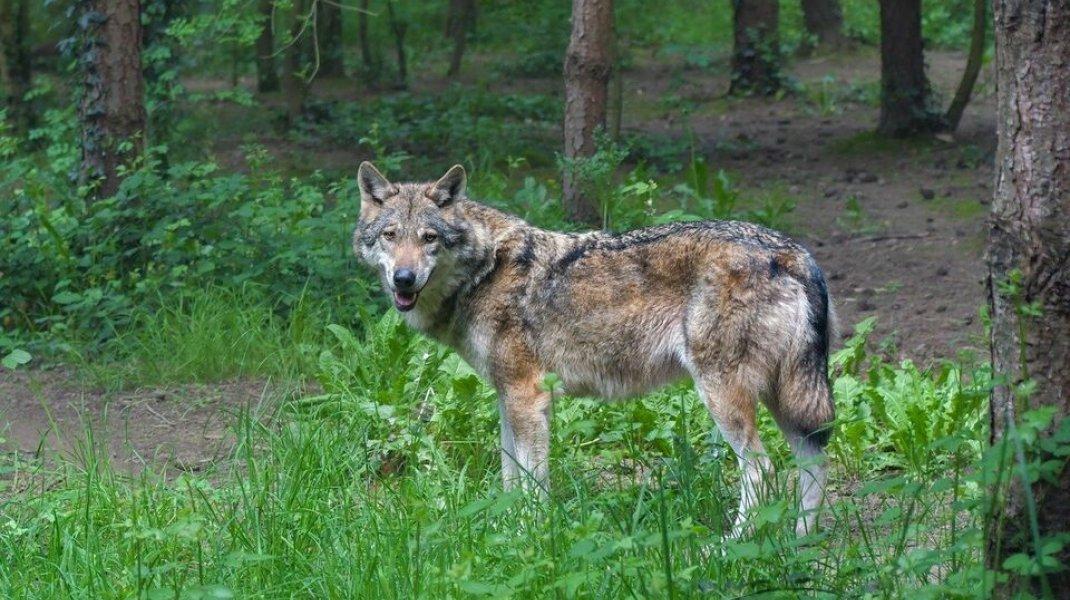 Le loup, l'Homme et la nature : une coexistance