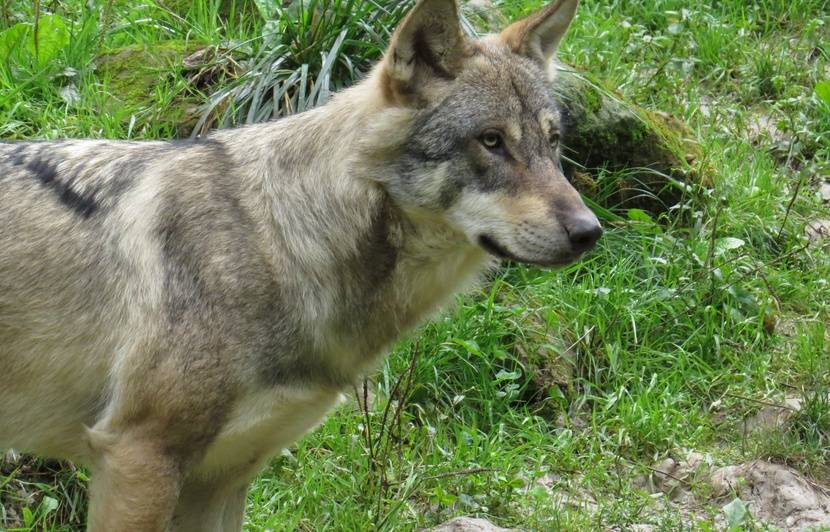 Alsace: Un loup photographié au Champ du feu