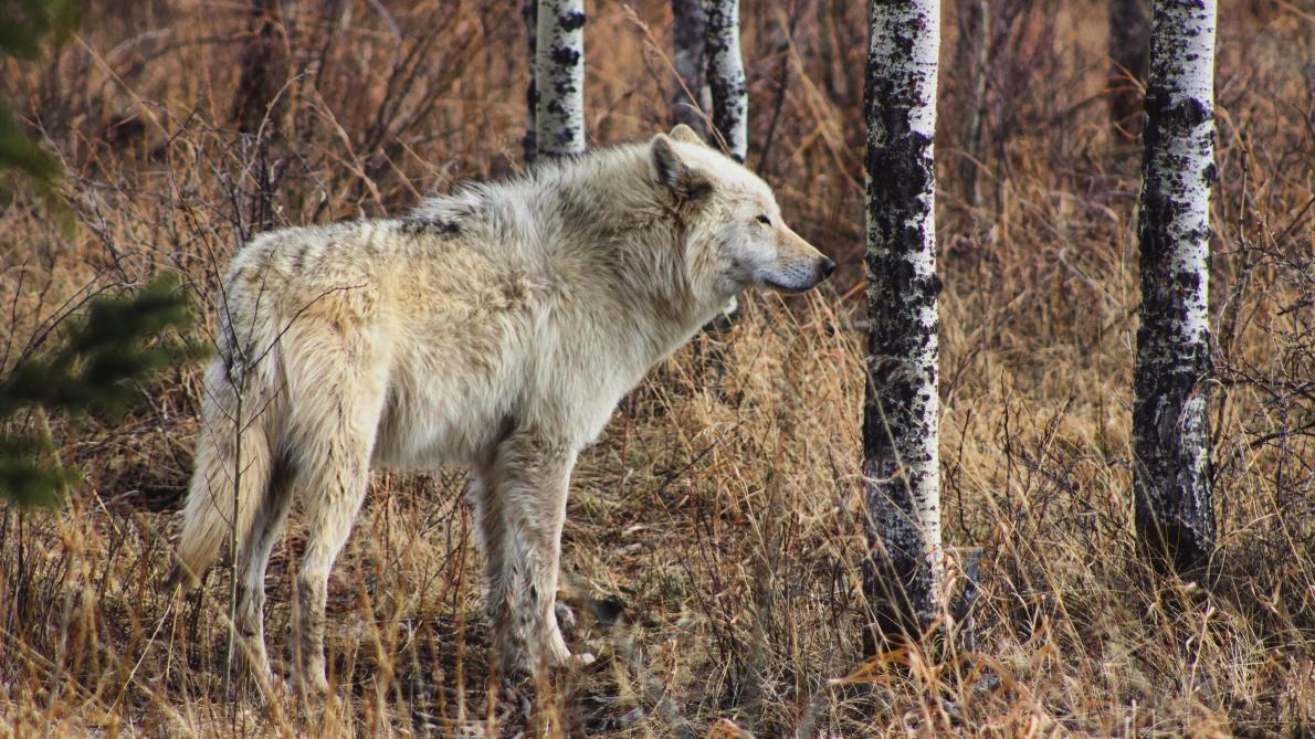 Deux moutons trouvés morts à Duffel, la piste d'un loup évoquée – Le Soir
