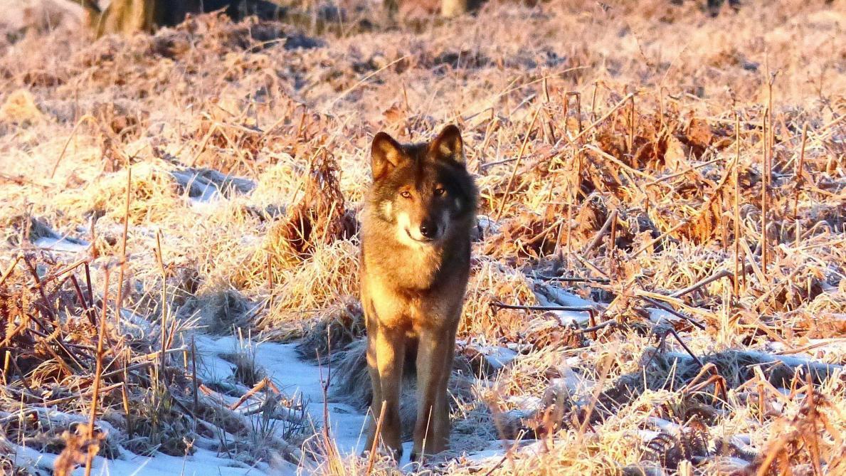 Un plan pour la cohabitation entre le loup et les hommes – Le Soir Plus