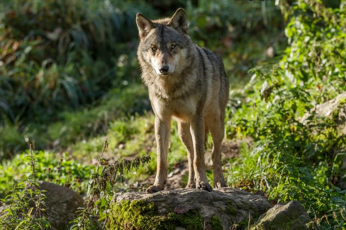 [Bonne Nouvelle] La population de loups continue à progresser en France