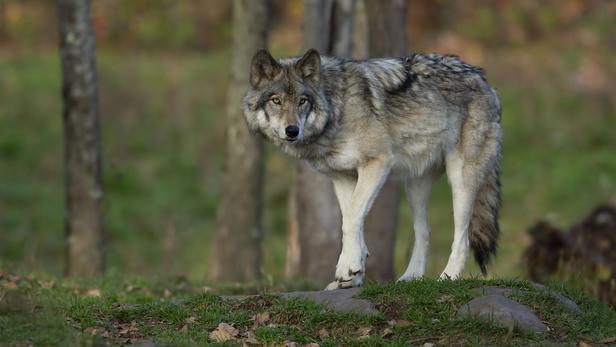 Les loups sont désormais présents sur les deux-tiers du territoire