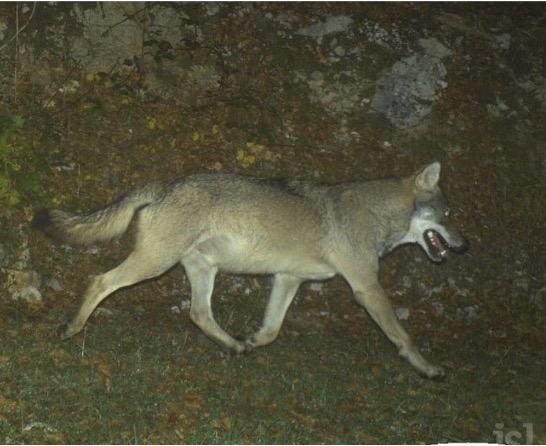 La population de loups continue à progresser en France • macommune.info