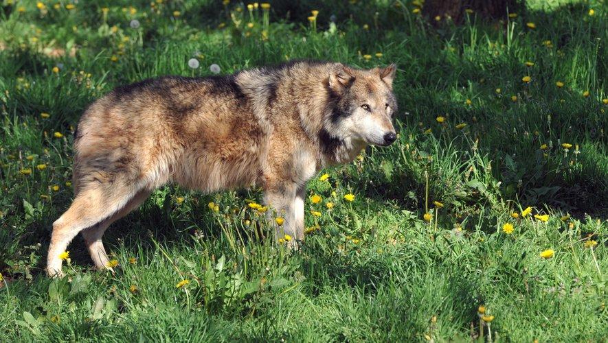 Hautes-Pyrénées : au col du Soulor, le loup refait parler de lui – ladepeche.fr