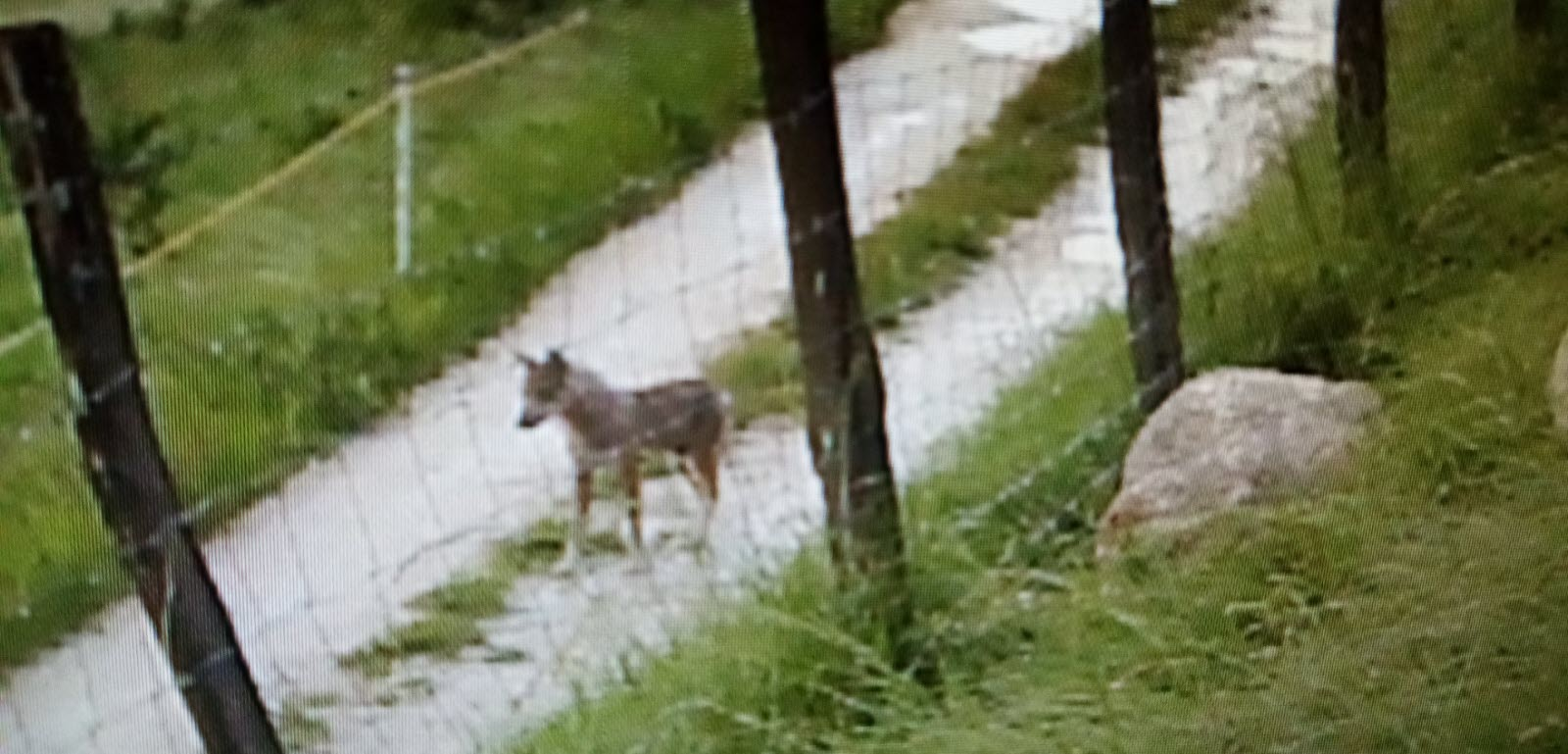 Faits-divers – Justice | Saint-Gervais : elle photographie le loup qui vient d'attaquer son troupeau