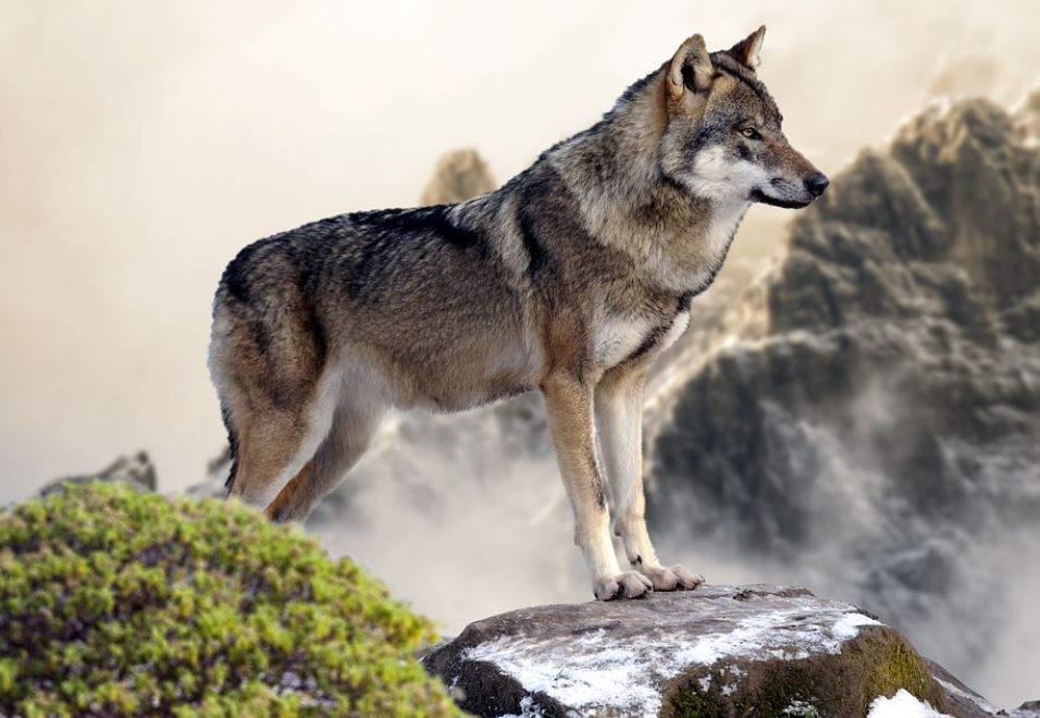 Alsace : le loup dans le massif du champ du feu