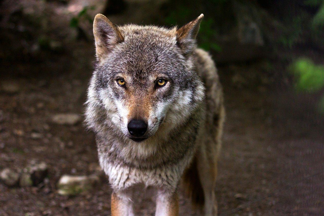 Le CAF loup demande «la fin du calvaire» des éleveurs-Syndicats, Élevages ovins et caprins