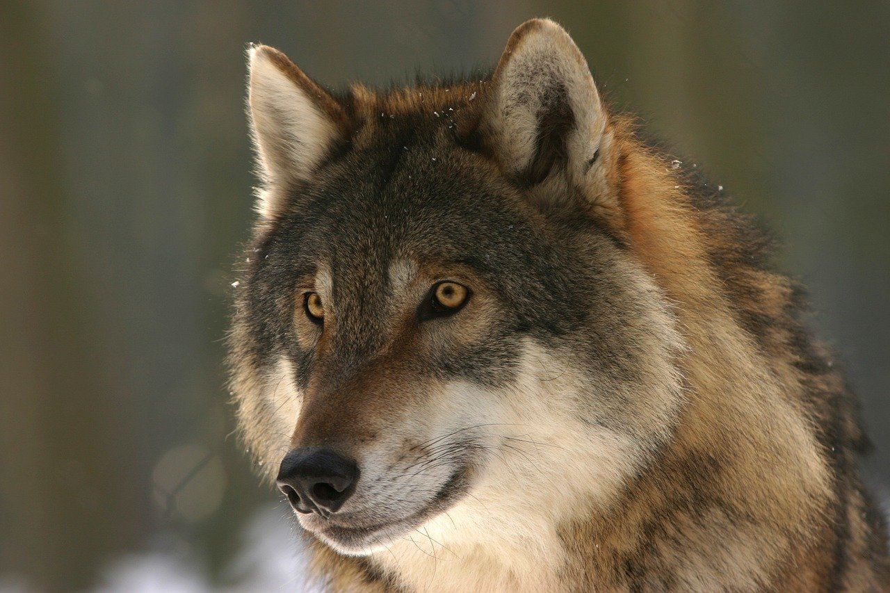 La population de loups continue à progresser en France – Le Trois –