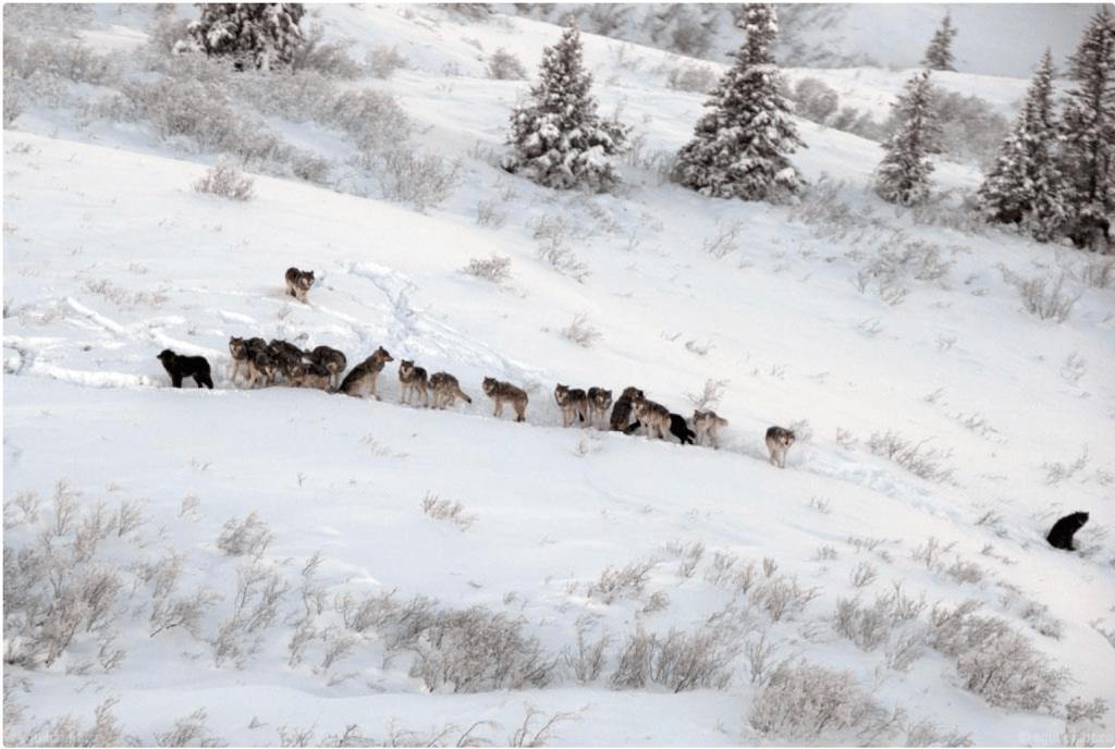 On abat les loups par hélicoptère dans les Territoires du Nord-Ouest – l-express.ca