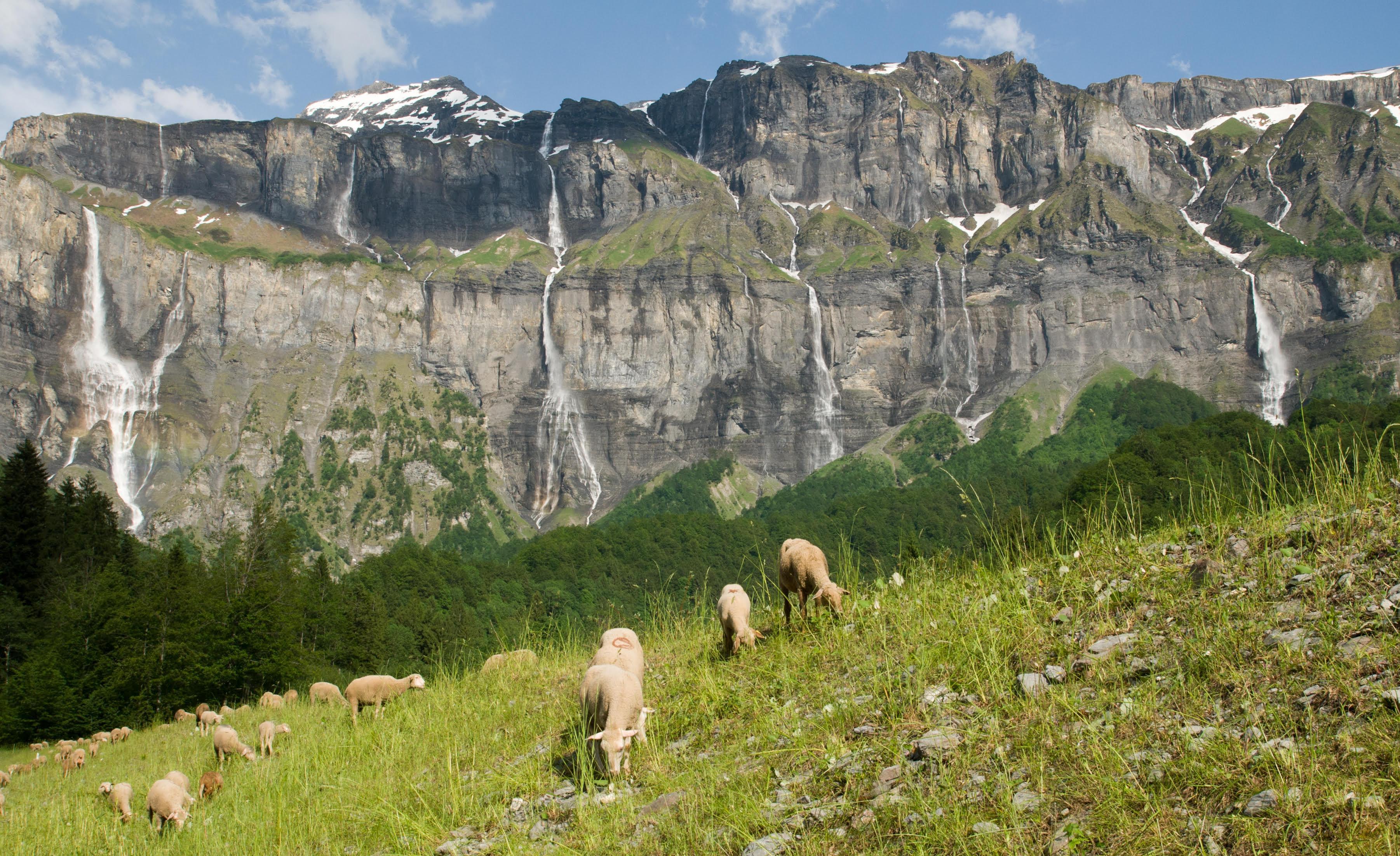 Faucigny : loups et troupeaux peuvent-ils cohabiter ? – La Tribune Republicaine
