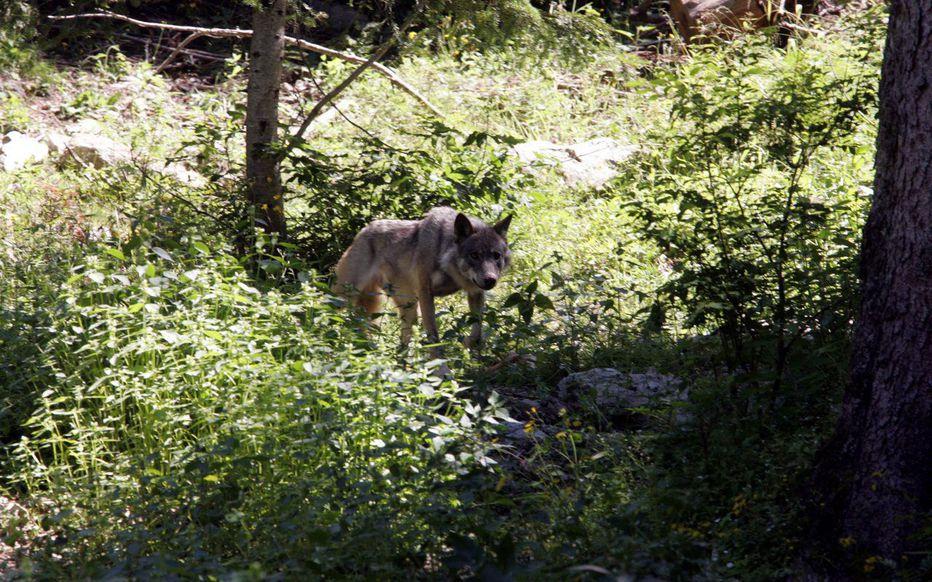 Deux lieutenants de louveterie menacés de mort après avoir abattu un loup – Le Parisien