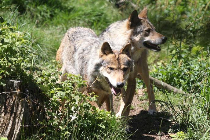 La population de loups augmente moins rapidement que les années précédentes