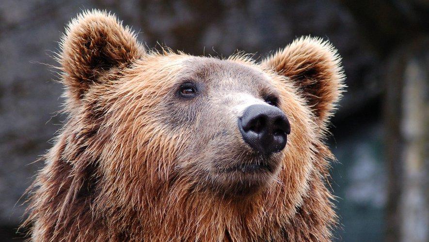 Occitanie : opposés à la présence de l'ours dans les Pyrénées, les éleveurs boycottent l'Etat – lindependant.fr