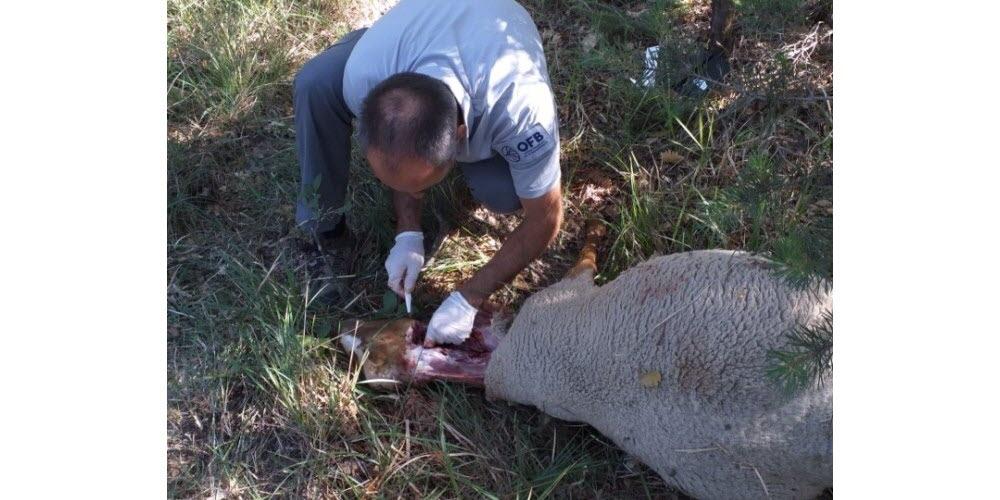 Faits-divers – Justice   La Bégude-de-Mazenc : une brebis égorgée, trois disparues et «le loup» vu par un éleveur