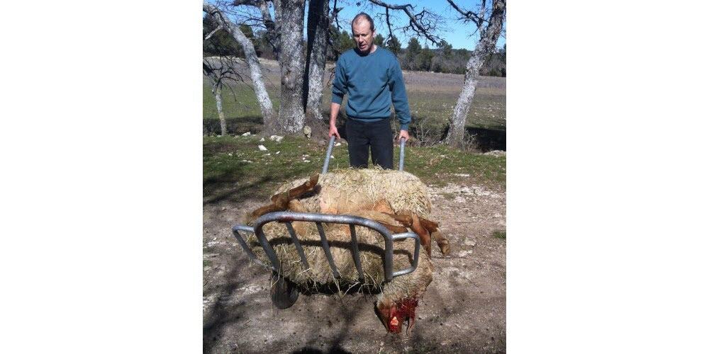Environnement | Loup: légère baisse des attaques et des victimes en Haute-Provence