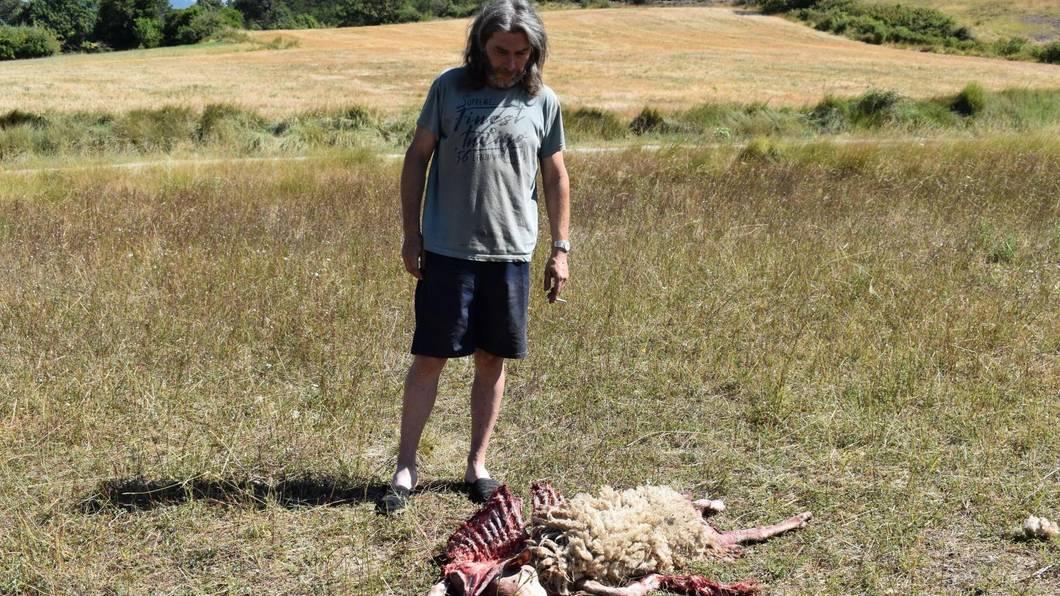 Alpes-de-Haute-Provence : attaque de loup à Aubignosc | La Provence