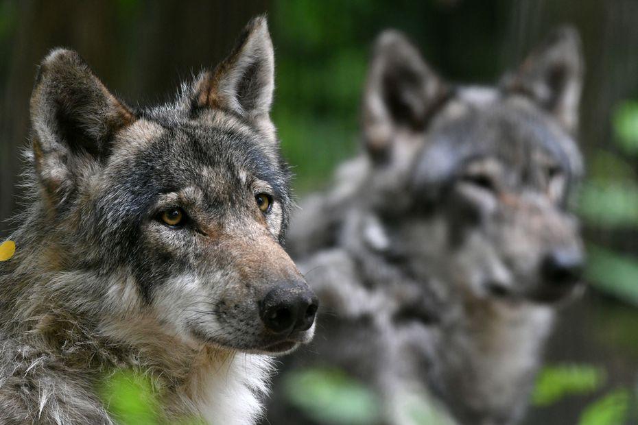 Loups : le gouvernement veut reconduire le nombre d'abattages possibles