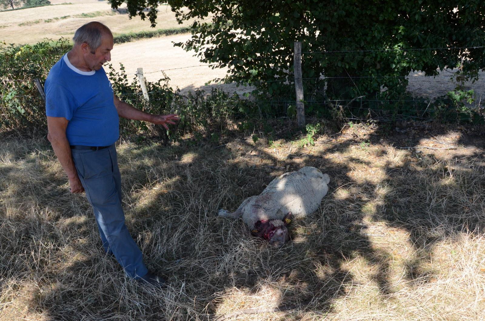 Economie | Nouvelle attaque de moutons à Gourdon: le loup soupçonné
