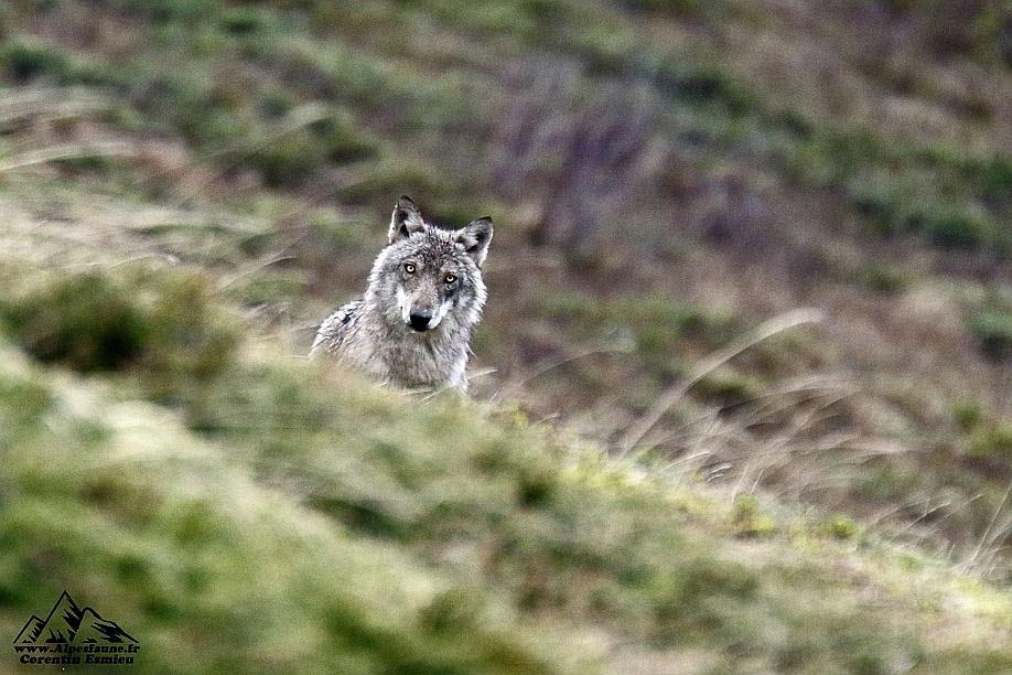 Environnement | Attaque du loupà Passy :une brebis et un agneau dévorés