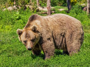 Ours : un été agité dans les Pyrénées