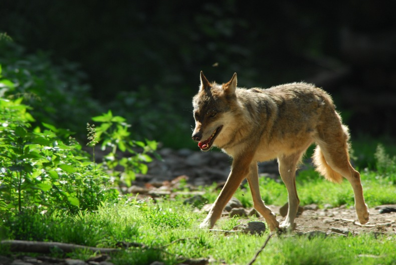 Le loup restera-t-il « une espèce strictement protégée » ?