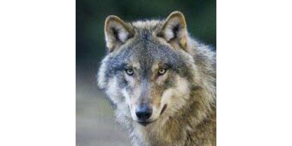 Insolite | Le loup gagne du terrain en France