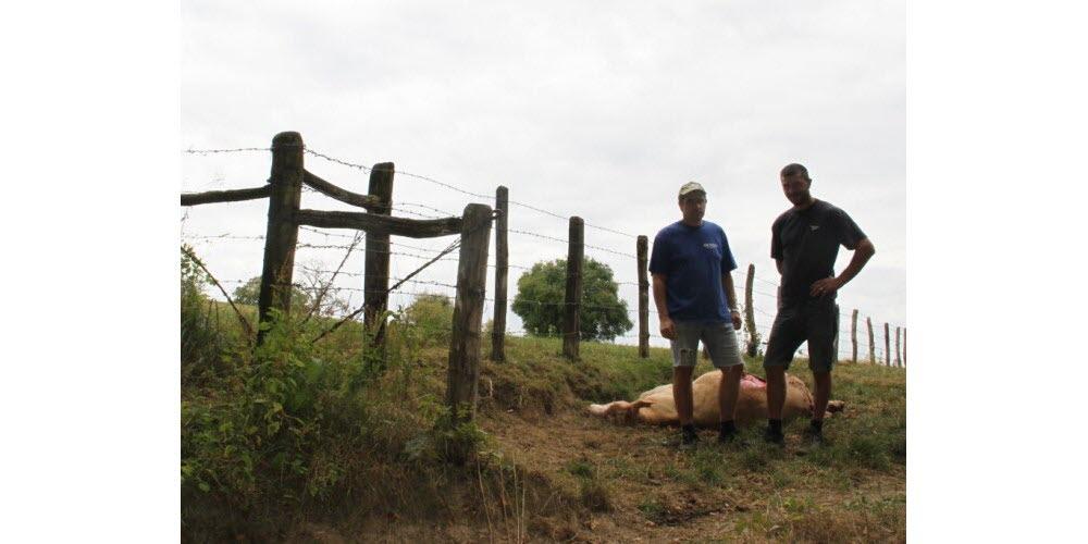 Faits-divers – Justice | Forte suspicion d'attaque de loup à Fougerolles : une génisse et deux agnelles tuées