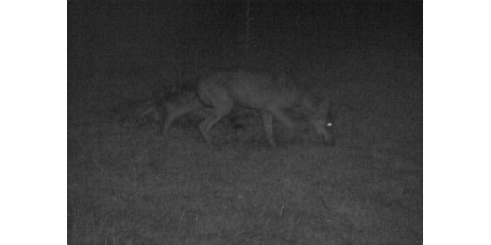 Agriculture | Loup en Saône-et-Loire : un premier éleveur autorisé à faire feu