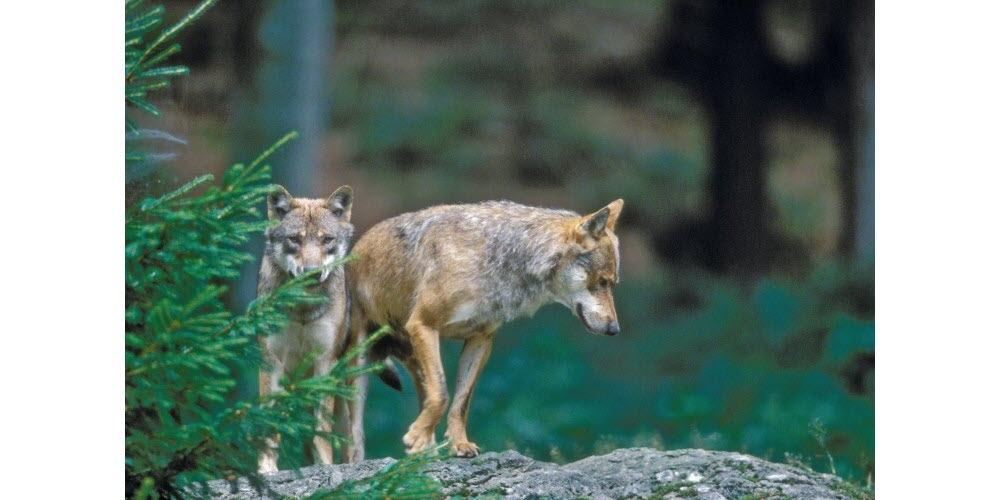 Environnement | Saint-Trinit : tirs de défense autorisés contre le loup